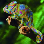 A Colourful Cameleon